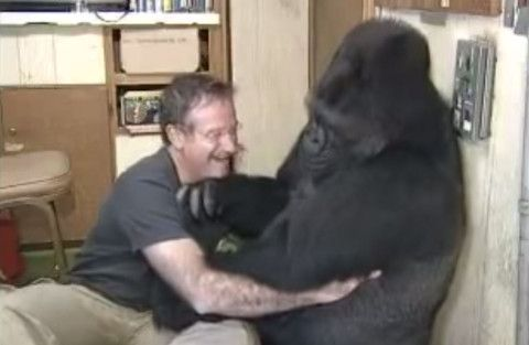 Watch what happens when this gorilla asks for a tickle from actor Robin Williams