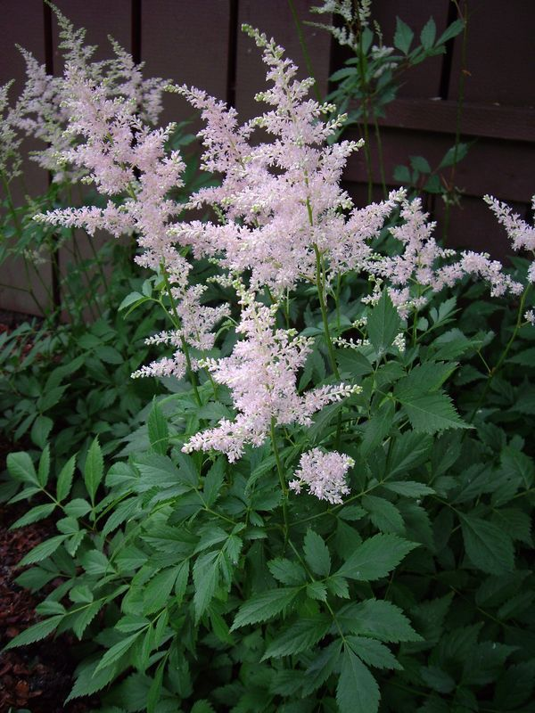 Astilbe Shade Plant Plays Well With Hostas And Japanese