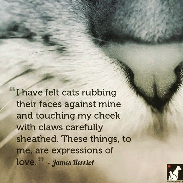 "James Heriot Quote .... ""I have felt cats rubbing their faces against mine ...."""