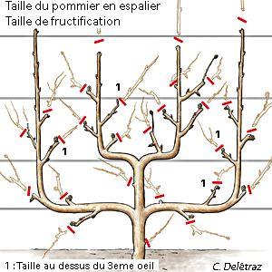 Tailler le pommier en palmette - Taille de fructification du pommier en palmettes