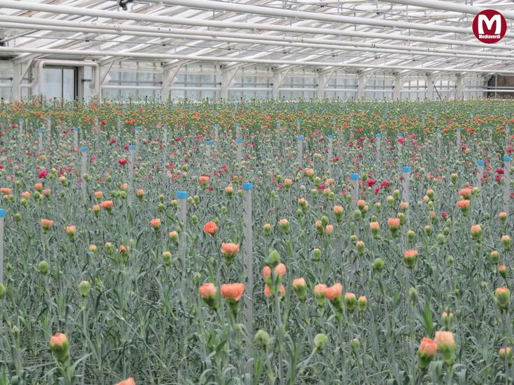 Anjerkas in herfstkleuren / greenhouse with Carnations in autumncolors