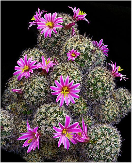 Pink Cactus Flowers: