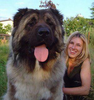 Tibetan mastiff- I want one!