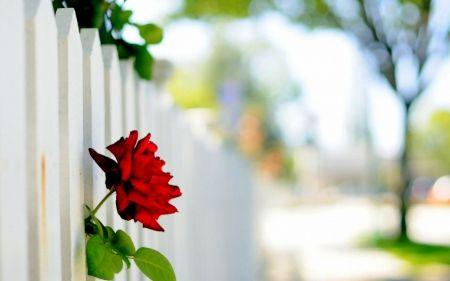 Rose - rose, red, Flower, fence
