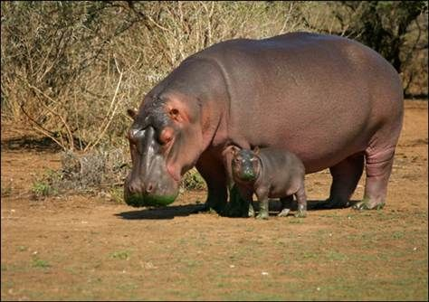 In the future, scientists hope to create a product inspired by hippo sweat that we may be slathering on our bodies before long. Description from nbcnews.com. I searched for this on bing.com/images