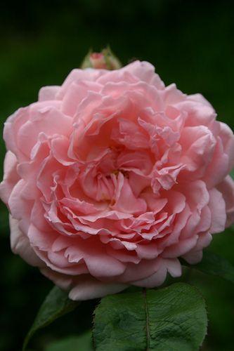 ~'Eglantyne' David Austin Rose