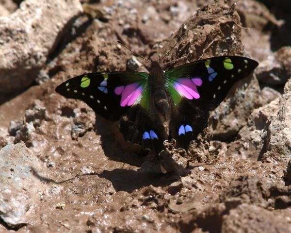 Purple spotted swallowtail - photo#15