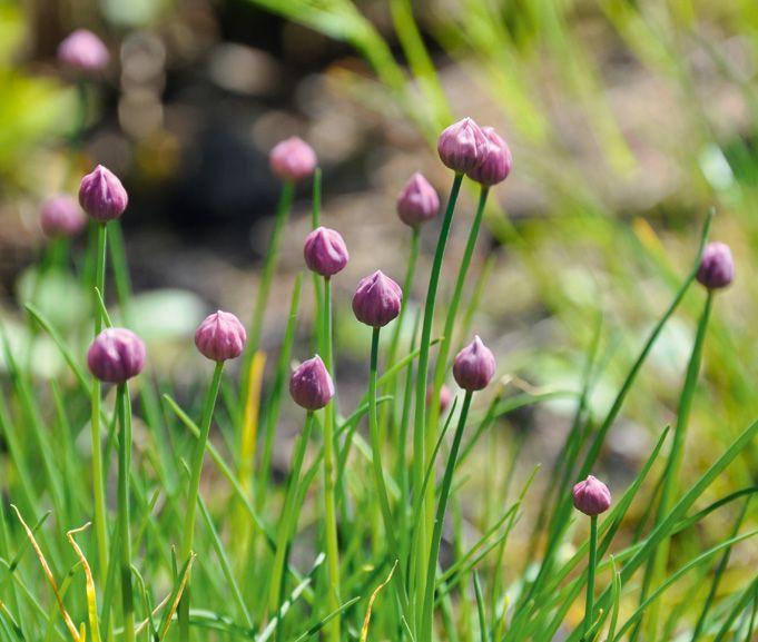 Weibulls - Köksträdgården, gräslök.