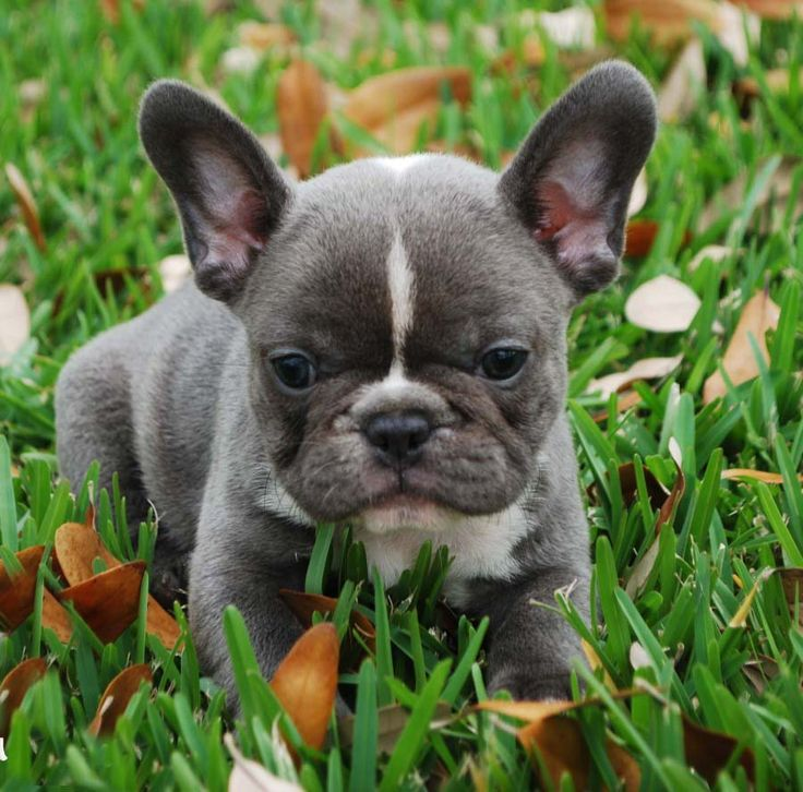 Blue French Bulldog Breeders and Clubs