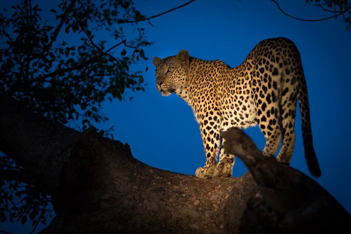 The Mashaba female, also no stranger to Marula trees, takes a moment to snatch a last glance towards the herd of impala in the distance she would shortly be setting off to hunt. Photograph by James Tyrrell
