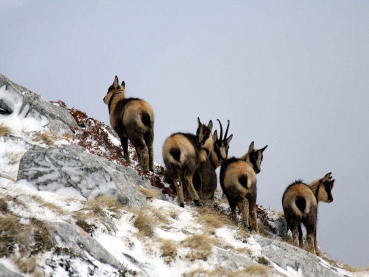 Camosci Parco Nazionale del Gran Sasso e Monti della Laga