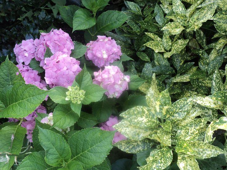Aukuba (Aucuba japonica) a hortenzie (Hydrangea) - červenec 2016