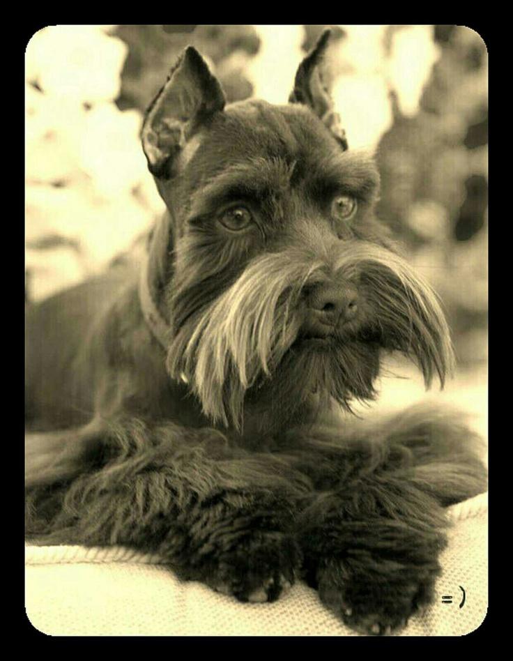 Beautiful Schnauzer pic! #Schnauzer #dog