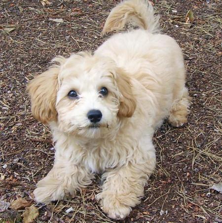 Define poodle mix