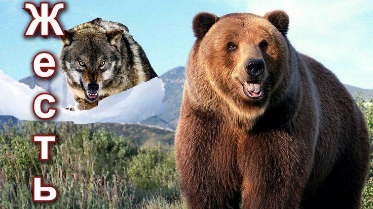 ДОЛИНА ГРИЗЛИ: Медведи против Волков | Документальный фильм Нат Гео Вайл...