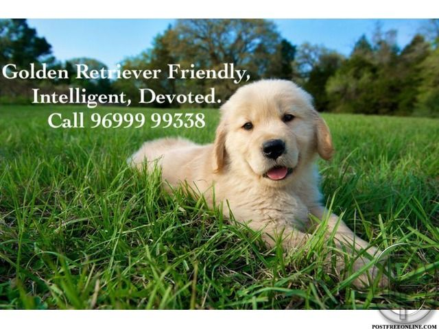 Golden Retriever Friendly Intelligent Devoted Call 96999 99338 In Mumbai Maharashtra India In Pet Anim Golden Retriever Dogs Golden Retriever Dog Breeder