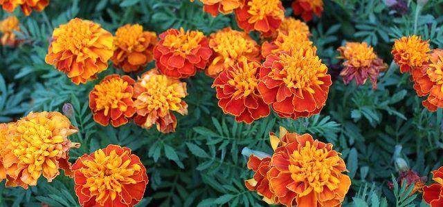 Crisantemo: plantas ornamentales de colores para exterior