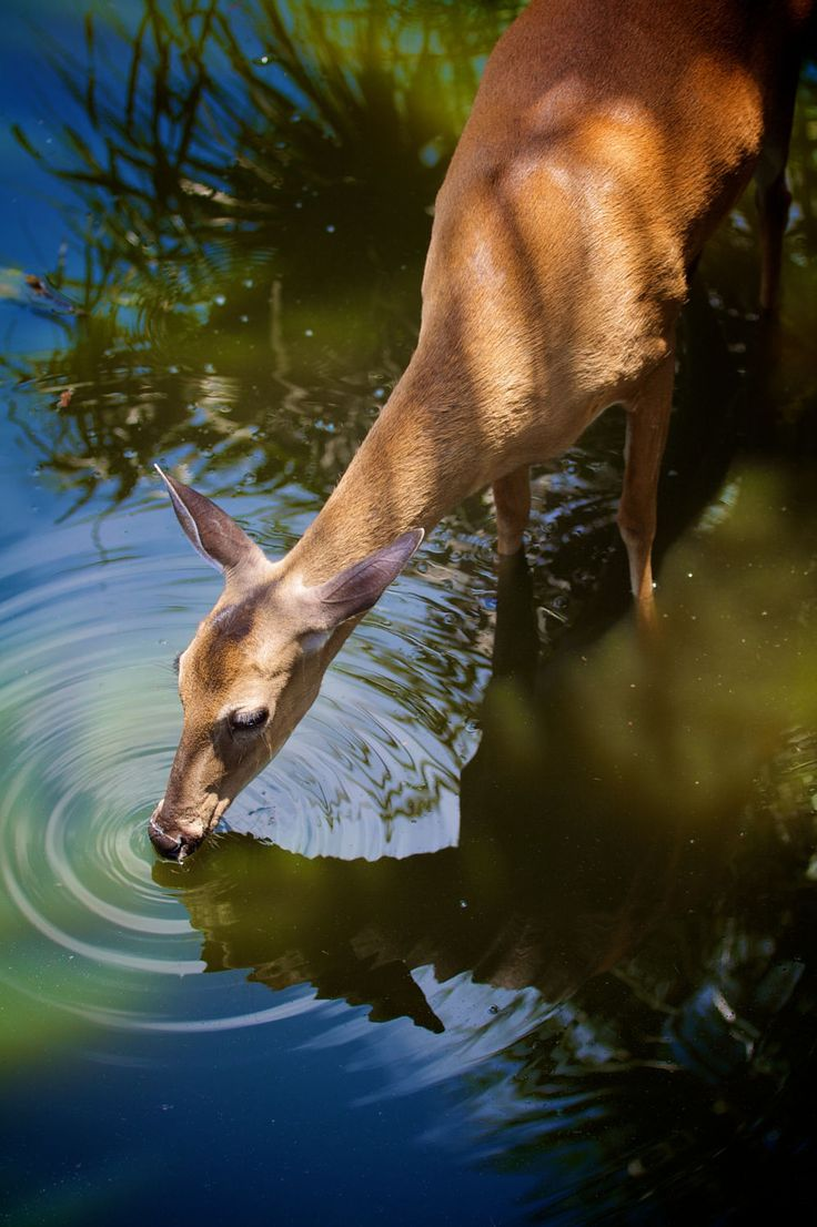 Deer drinking water by Jim Rhoades on 500px