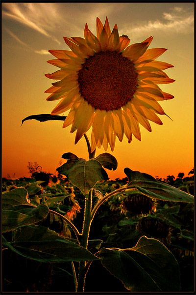Kansas Sunset behind a Sunflower. Beautiful photography!