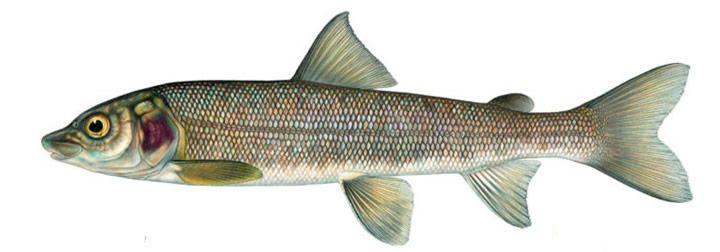 White fish Virtual Mitosis