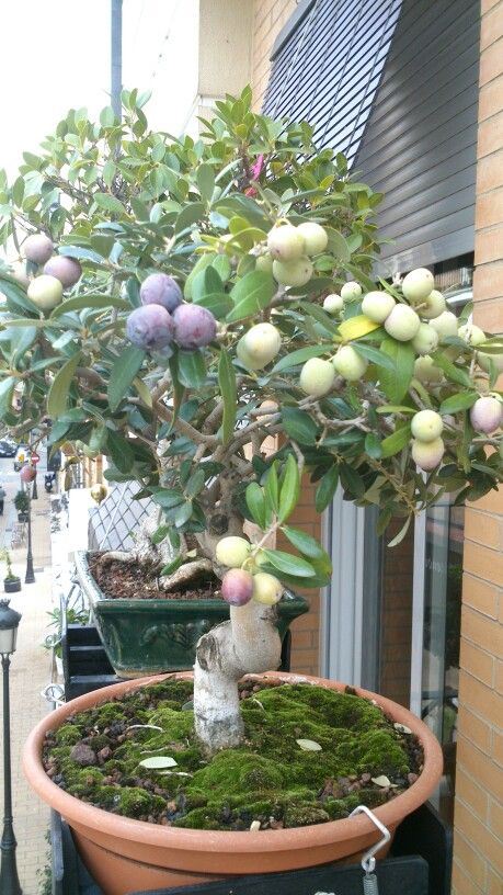 25 best ideas about bonsai fruit tree on pinterest for Growing olive tree indoors