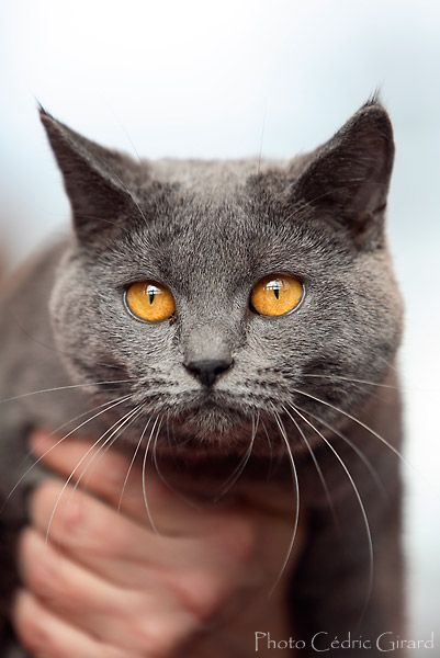 Chartreux is a beautiful breed!