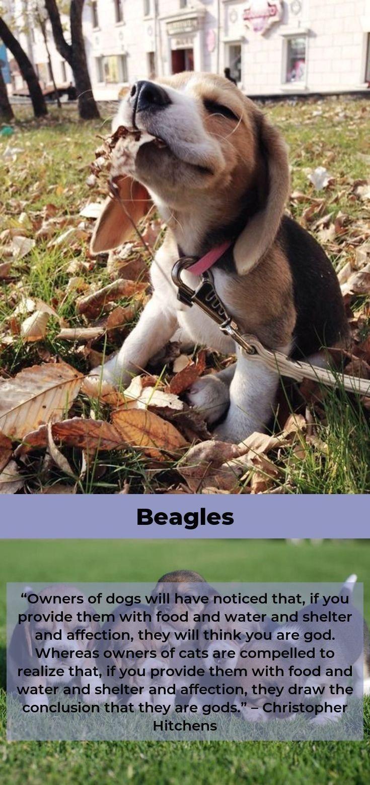 Beagle Dog Beagleclub Beagles Colors Cute Animal Memes Baby Animals Cute Dogs