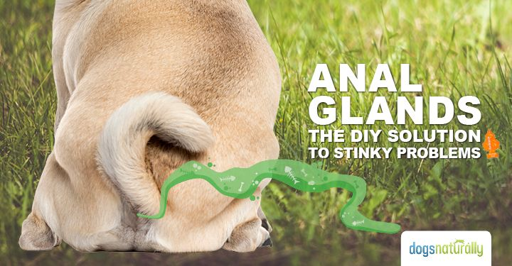 Anal glands … a very stinky problem with an easy and cost-effective solution. Sure, it's not the most pleasant subject, but it's a really important part of your dog's health. If the anal glands aren't functioning correctly, they can cause discomfort and even infection. I'd like to share with you an easy way to help …