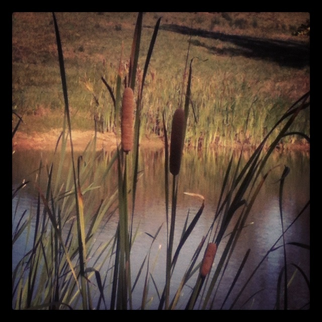 Cattails at my parents pond