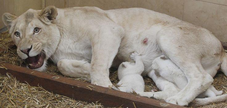 E' festa nello zoo di Borysew, Polonia centrale, per la straordinaria nascita di tre leoni bianchi gemelli. A rendere l'evento molto speciale è il fatto che i cuccioli, venuti al mondo la settimana scorsa, siano tutti in ottime condizioni e che la madre non ne abbia rifiutato nessuno. Mamma A