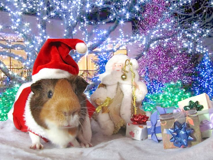 139 Best A Very Cavy Guinea Pig Christmas Images On