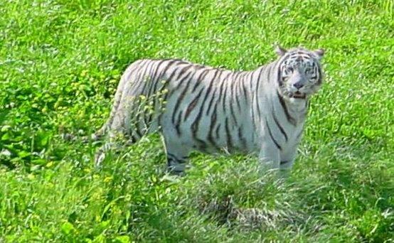 India: tigri in pericolo, stop al turismo in aree protette