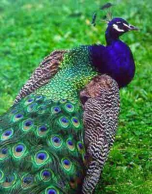 The peacock has blush-green feathers, which are smooth as velvet . Various shades of these colored feathers on its tail have an eye like design on them.  It is about five feet tall with a thin and graceful neck.It has a small crest of fathers on its head.