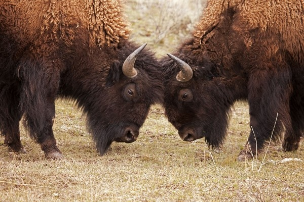 """Brainstorming""  The iconic American Buffalo, or Bison (Bison bison), are a rich part of North American history, and efforts continue to preserve this magnificent species. Yellowstone has one of the largest wild, free-roaming herds in the states."