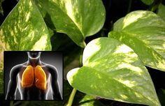 Benefíciate del potus para purificar el aire de tu casa y tratar y prevenir ojos congestionados, hipertensión ocular, glaucoma y cataratas
