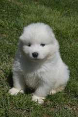 We have four male samoyed puppies available to loving homes at the end of February. They have been raised in a family environment. They will be well socialised with kids and other animals. They have been wormed every two weeks since birth. They have been treated with frontline and will be microchipped at 6 weeks of age.  Both parents are available for viewing if requested.   Pick up from Armidale or Port Macquarie - https://www.pups4sale.com.au/dog-breed/480/Samoyed.html