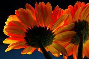 La Gerbera | Cuidar de tus plantas es facilisimo.com