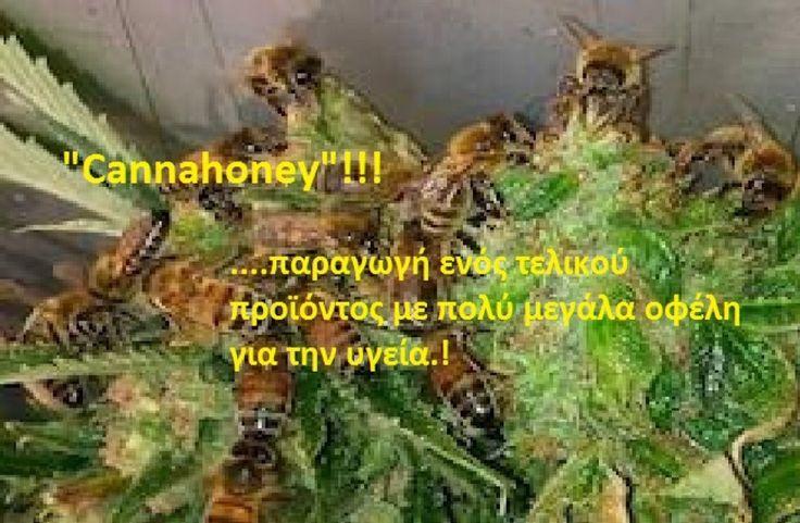 Εκπαιδεύει τις μέλισσες για να φτιάχνουν μέλι από κάνναβη !!! (ΒΙΝΤΕΟ)