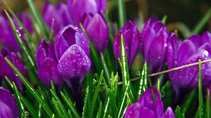 Роса фиолетовые цветы Трава