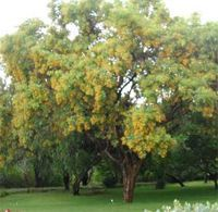 Bijaka - La bijaka fait partie des plantes médicinales utilisées dans la médecine traditionnelle ayurvédique depuis des siècles de cela, elle est un traitement efficace pour réduire la glycémie et les triglycérides sériques. La bijaka (pterocarpus marsupium) diminue le cholestérol total, elle agit sur dif... http://www.complements-alimentaires.co/wp-content/uploads/2015/09/Bijaka_Pterocarpus_marsupium.jpg - Par Nathalie sur Compléments alimentaires  #Lesplantesdela