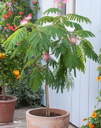 Bomen voor een kleine tuin: Perzische slaapboom (Albizia julibrissin)