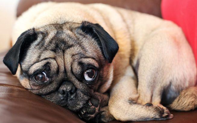 8 Pug Videos That Will Make You Snort Funny Dog Photos Newborn