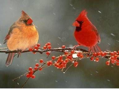 cardinals: Favorite Birds, Northern Cardinals, Cardinals Birds, Houses Finch, Cardinals Couple, Beautiful Birds, Beautiful Redbird, Birds Cardinals, Feathers Friends