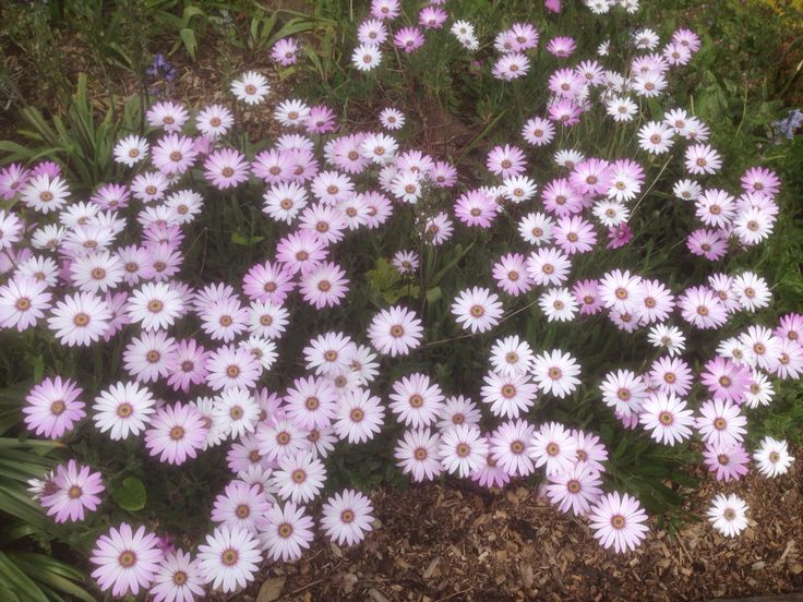 Beautiful spread of osteospermum at Green End Farm