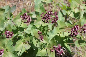 Heart-leaf Milkweed Plants