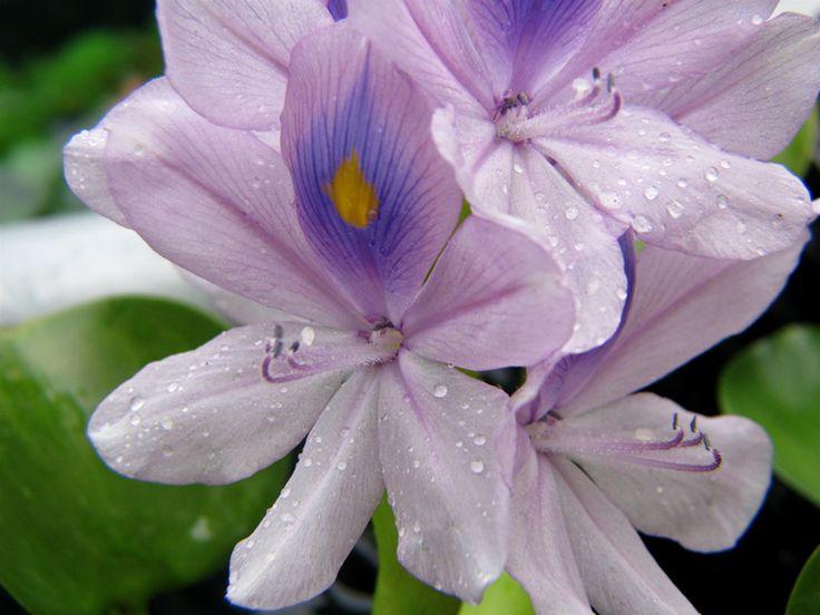 Hyacinths Flower | Hyacinth Flowers wallpaper, Hyacinth Flowers picture, Hyacinth Flowers ...