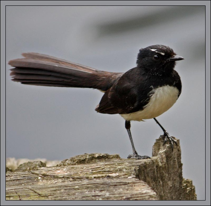 Willy Wagtail Google Image Result for http://www.sydneynature.com/birds/big/wagtail0147.jpg