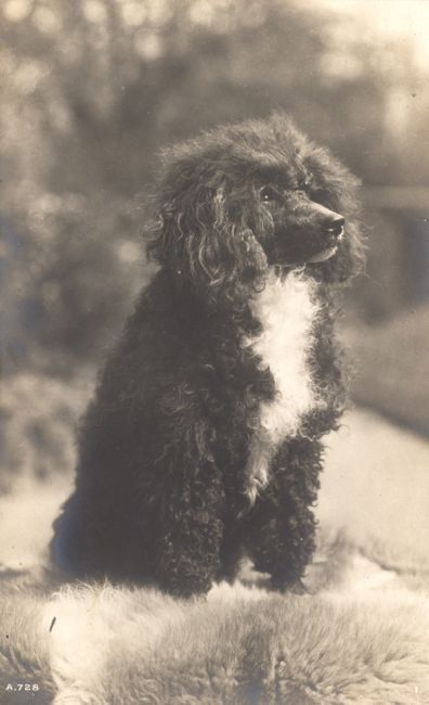 Vintage Poodle Dog Postcard PC England Rotary Photo c 1906