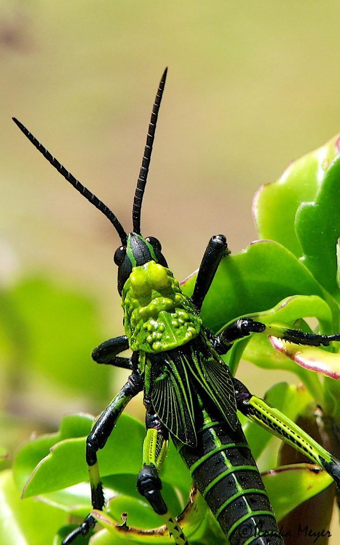 Fantastični insekti - Page 8 0b7c402d2b0a55917c03b5d528d66b9d