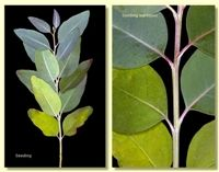 Eucalyptus camaldulensis var. obtusa - River Red Gum